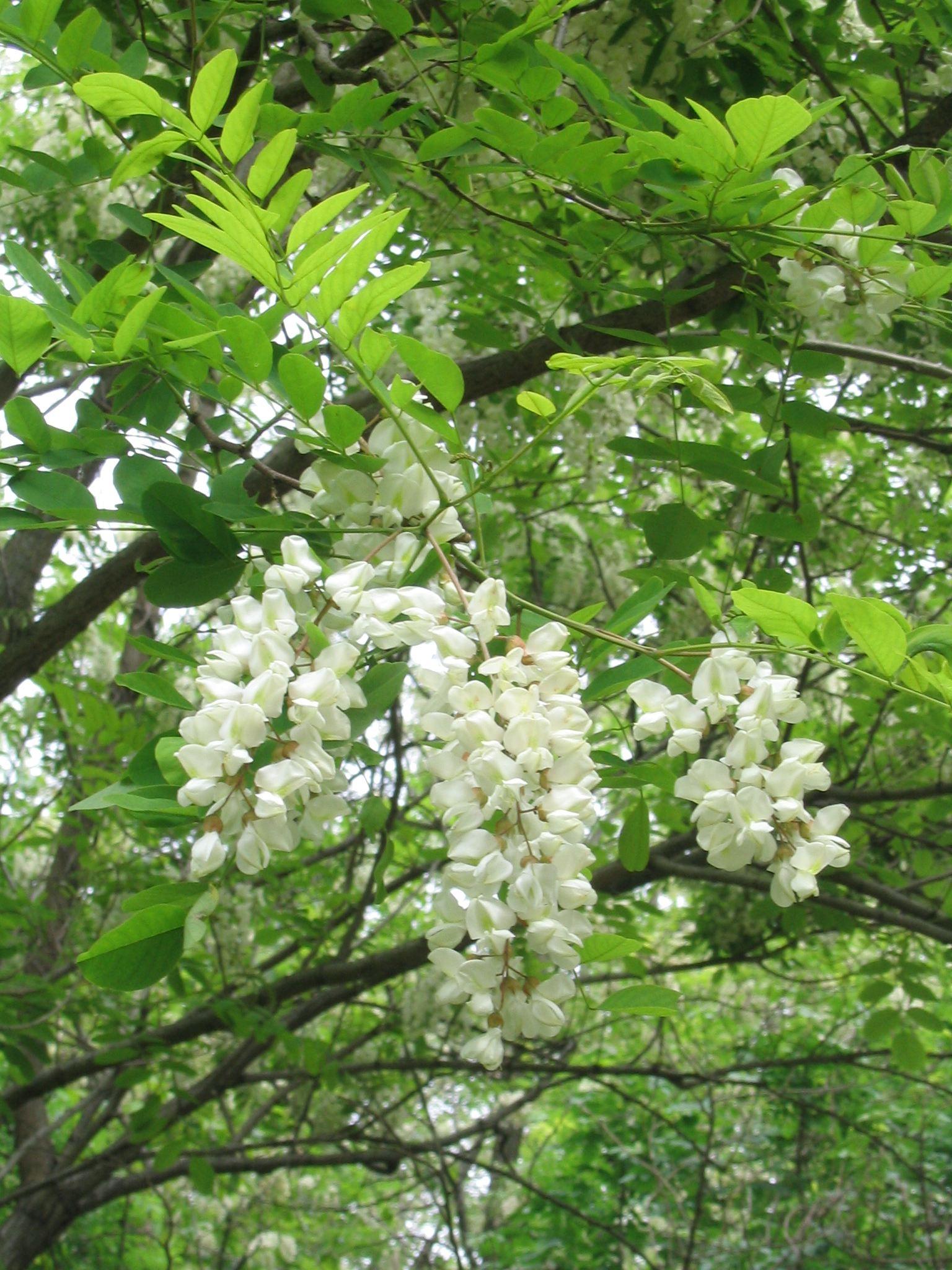 Robinia pseudoacacia l for Acacia albero