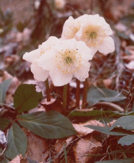 Helleborus niger l for Elleboro bianco